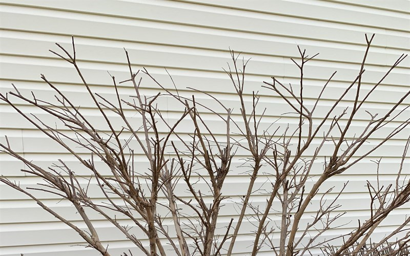 Pruning Acoma Myrtles Picture