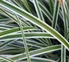 Carex O. Evercolor R Everest Pp20955