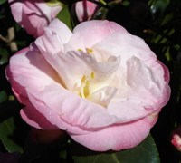 Dr. Tinsley Camellia Picture