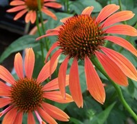 Sundown Coneflower Picture