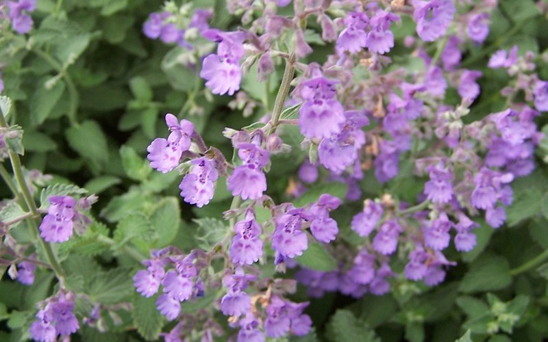 Walkers Low Catmint Picture