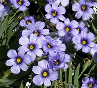 Blue Eyed Grass Picture