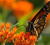 Butterfly Milkweed