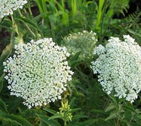 Queen Anne's Lace Picture