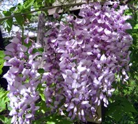 Chinese Wisteria Picture