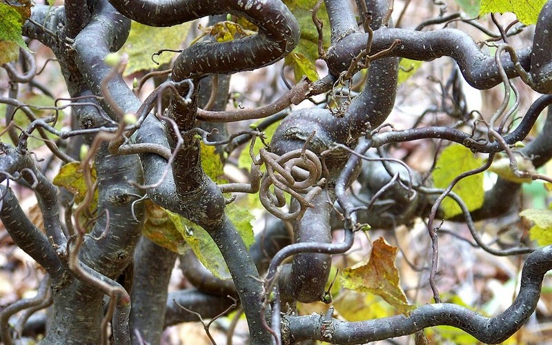 Corkscrew Hazel Picture