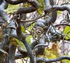 Corkscrew Hazel