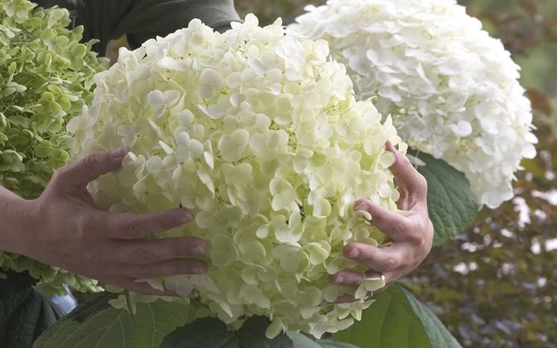 Incrediball Hydrangea bloom