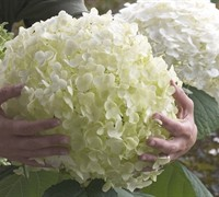 Incrediball Hydrangea Picture