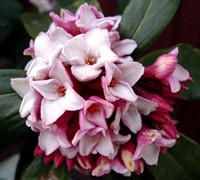 Winter Daphne Picture