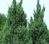 Blue Point Juniper Picture