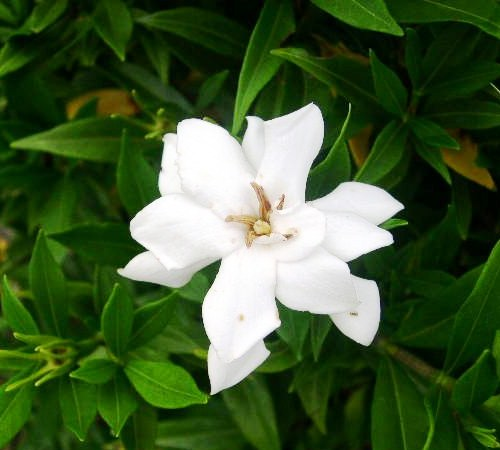 Picture of Frostproof Gardenia
