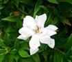 Frostproof Gardenia