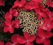 Lady In Red Hydrangea