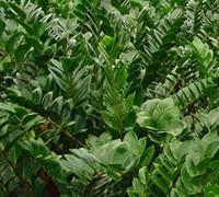 Zz Plant Picture