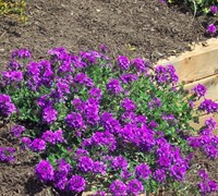 Homestead Purple Verbena Picture
