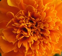 Marigolds - African Picture