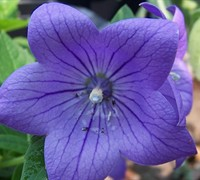 Sentimental Blue Balloon Flower Picture