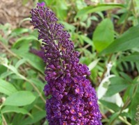 Black Knight Butterfly Bush Picture