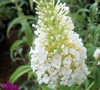White Profusion Butterfly Bush Picture