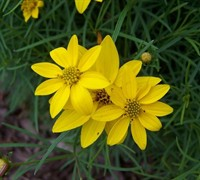 Zagreb Coreopsis Picture