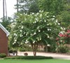 Natchez Crape Myrtle