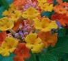 Sonset Lantana