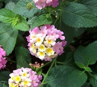 Pink Caprice Lantana Picture