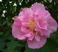 Confederate Rose Hibiscus Picture