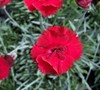 Dianthus Fire Star