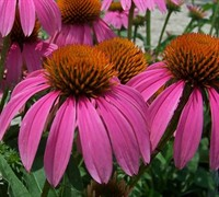 Ruby Star Coneflower Picture