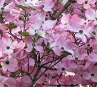 Stellar Pink Dogwood Picture