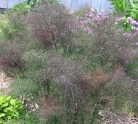 Bronze Fennel Picture