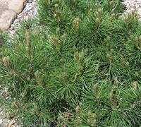 Mugo Pine Picture