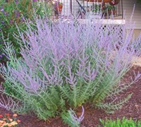 Russian Sage Picture