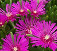 Hardy Purple Ice Plant Picture