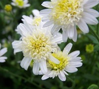 Japanese Aster Picture