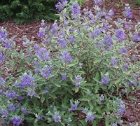 Blue Mist Shrub Picture
