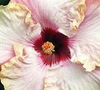 Stolen Kiss Cajun Tropical Hibiscus Picture