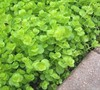 Creeping Jenny