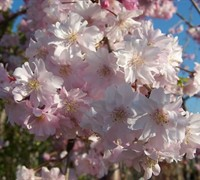 Pink Weeping Cherry Tree Picture
