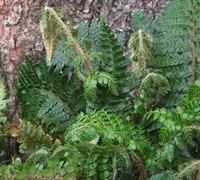 Tassel Fern Picture
