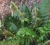 Tassel Fern