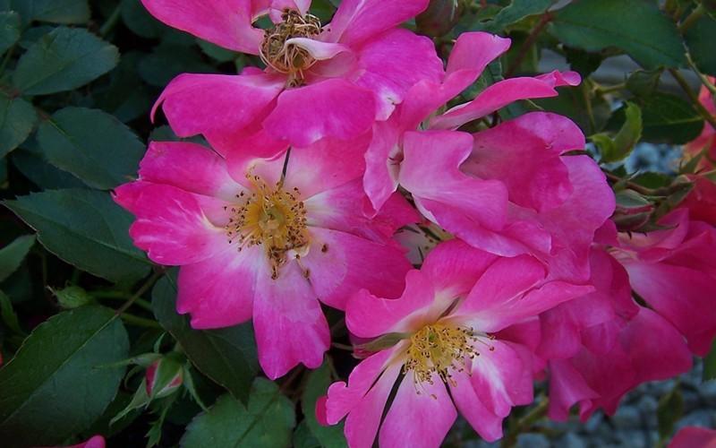 Pink Drift Rose