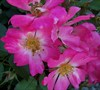 Pink Drift Rose
