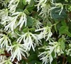 Emerald Snow Loropetalum