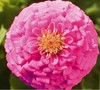 Lilliput Mix Zinnia Flower