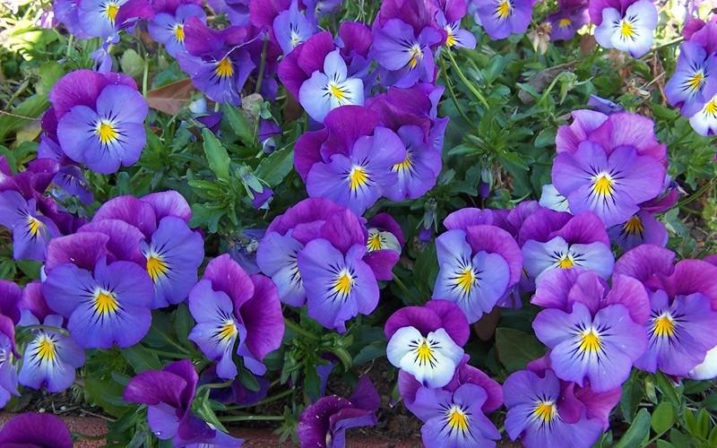 Lavender Blue Plentifall Pansy