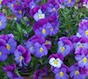 Lavender Blue Cool Wave Pansy