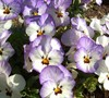 Frost Cool Wave Pansy